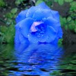 Blue rose in water — Stockfoto