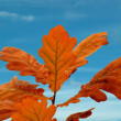 Oak leafs and sky — Stock Photo