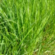Green grass — Stock Photo #32576211