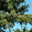 Fir tree — Stock Photo #32576221
