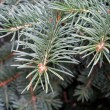 Foto Stock: Blue fir tree