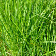 Green grass — Stock Photo #32576361