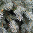 Fir tree — Stock fotografie #32576547