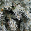 Fir tree — Foto de Stock