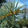 Fir tree — Stock Photo #32577161