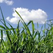 Stock Photo: Sky and grass
