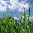 Sky and grass — Stock Photo