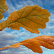 Foto de Stock  : Autumn oak