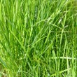 Green grass — Stock Photo #32577733