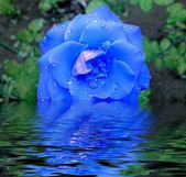 Blue rose in water — Stock Photo