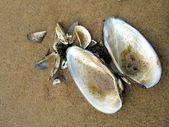 Cockleshells på sand — Stockfoto
