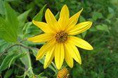 Fiore giallo — Foto Stock