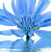 Fiore blu riflettuto nell'acqua — Foto Stock