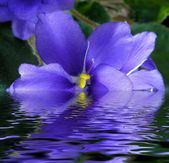 Flower violet in water — Stock Photo