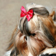 Yorkshire terrier — Stock Photo #32636809