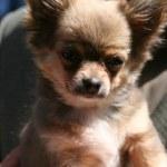 Small dog Chihuahua — Stock Photo