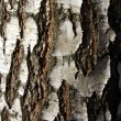 Stock Photo: Birch bark