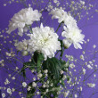 White flowers Chrysanthemum — Stock Photo