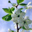 Blossoming cherry — Stock Photo