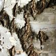 Birch bark — Stock Photo #32637409