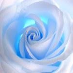 Soft white & blue rose — Stock Photo