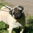 Thoroughbred dog. Pug — Stock Photo #32637577