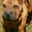 Thoroughbred dog. Sharpei — Stock Photo