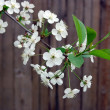 Blossoming cherry on wood background — Stock Photo