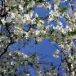 Blossoming cherry — Stockfoto