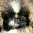 Thoroughbred dog Pekinese — Stock Photo #32637923