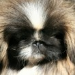 Thoroughbred dog Pekinese — Stock Photo