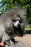 Dog grey poodle — Stock Photo