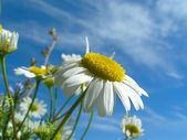 Ox-eye daisy and sky — Stock Photo