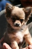 Small dog Chihuahua — Stock Photo