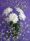 Chrysanthème fleurs blanches — Photo
