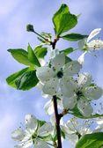 Kwitnąca wiśnia — Zdjęcie stockowe