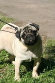 Thoroughbred dog. Pug — Stock Photo