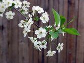 Florescimento cereja no fundo madeira — Fotografia Stock