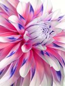 Multicolored Dahlia. — Stock Photo