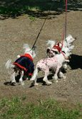 Chinese Crested Dogs — Stock Photo