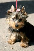 Yorkshire terrier. puppy — Stock Photo