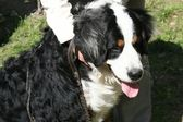 Swiss Mountain dog Berner Sennenhund — Stock Photo
