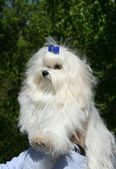 Maltese lap dog — Stock Photo