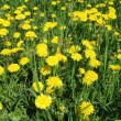 Yellow dandelions — Stock Photo #32788583