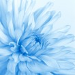 Soft blue flower — Stock Photo