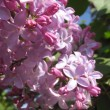 Blossoming lilac — Stock Photo