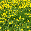 Yellow dandelions — Stock Photo #32788751