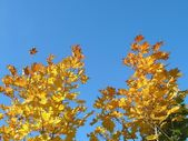 Sarı ağaç — Stok fotoğraf