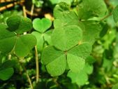 Leafs of clover — Stock Photo