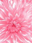 Rosy flower — Stock Photo